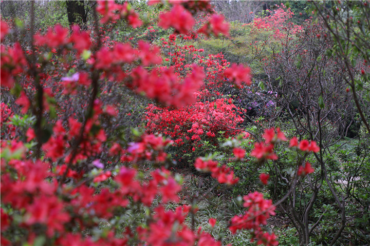 省植物园24日恢复开园,晚樱、杜鹃接力花节