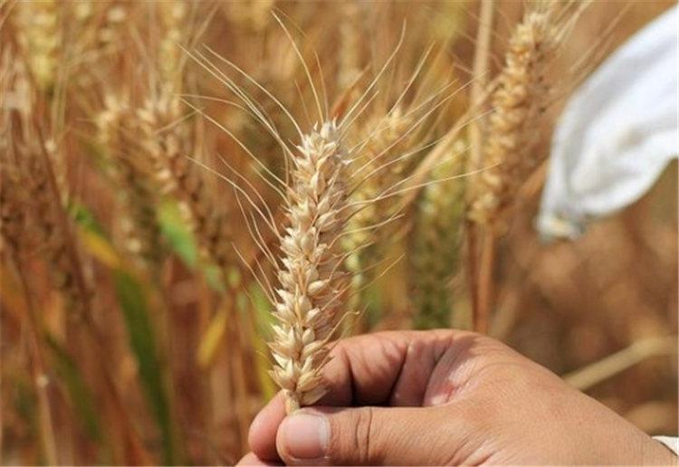 我国科学家在攻克小麦赤霉病上取得新进展