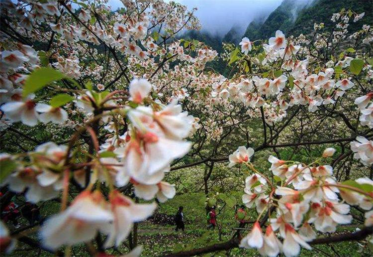 湘西龙山:万亩桐花绽放 美丽乡村如画