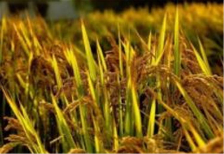 记者调查:长沙农民为何纷纷抢种双季稻?