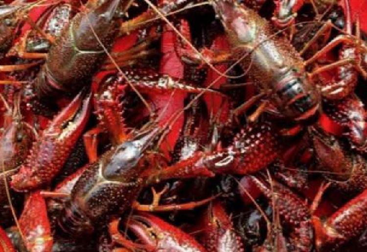 长沙县:小龙虾大面积上市 激活田园经济